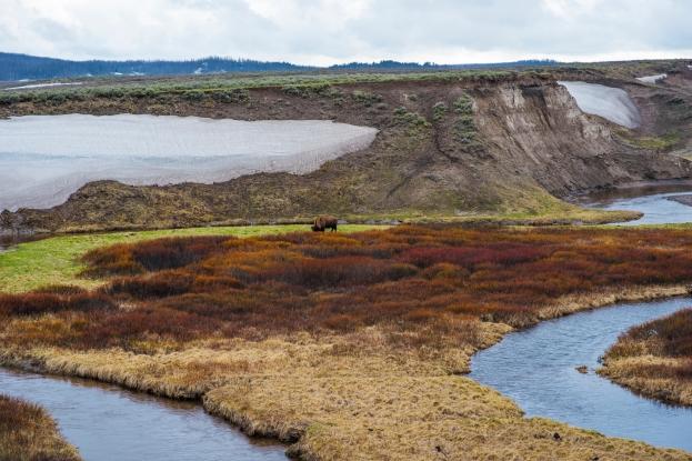 Bison Yellowstons May 2019